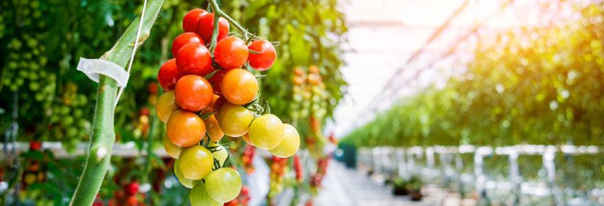 Serre pour tomates